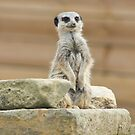 Meerkat On Guard Duty by BillCMartin