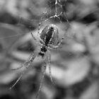 ~ Spider ~ by Sandra Cockayne