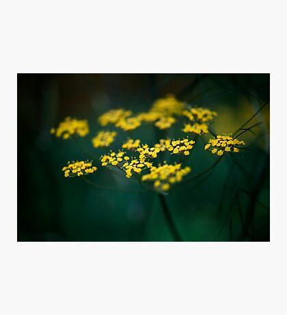 Fennel Flower Photographic Print