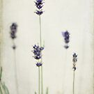 Lavender Simply Against a Plain Wall by eyeshoot