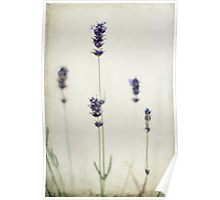 Lavender Simply Against a Plain Wall Poster