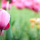 Single Pink Tulip Against Green Background by eyeshoot