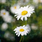 Yellow and White Daisy. by eyeshoot