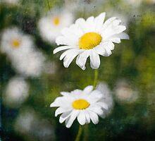 Yellow and White Daisy. by eyeshoot