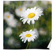 Yellow and White Daisy. Poster