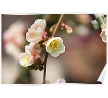 Quince Flower Poster