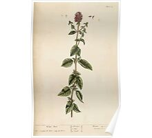 A curious herbal Elisabeth Blackwell John Norse Samuel Harding 1737 0090 Water Mint Poster