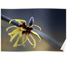 Witch Hazel Spider Poster