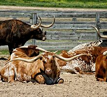 Longhorns by Colleen Drew