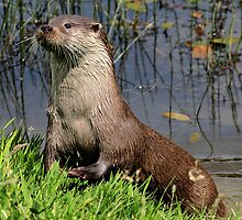 Otter by Norfolkimages