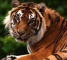 Tiger  by Samantha  Nicol