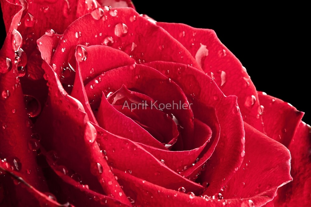 Rose After the Rain by April Koehler