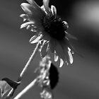 Black & White Sunflower Series II by Rebbecca Romine