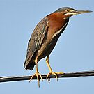 Bird On A Wire by Monte Morton