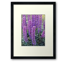 Purple Lupins Framed Print