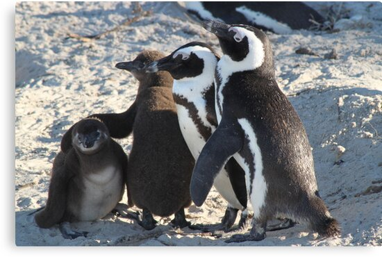 Family photo-african penguins by jozi1