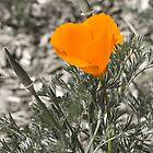 California Poppy by Wulfrunnut