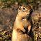 Ground Squirrels & Prairie Dogs