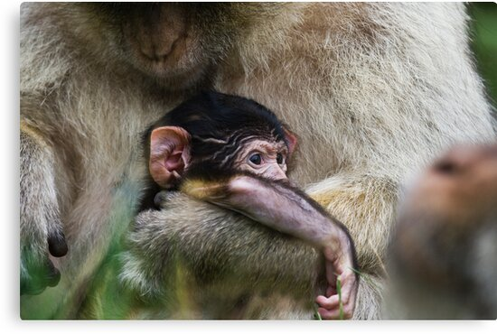 Two week old Barbary macaques by Elaine123