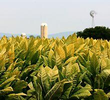 Tobacco fields by jstoeber