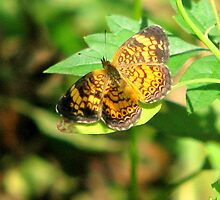 Pearl Crescent by DottieDees