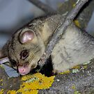 Possum # 2 by Murray Wills