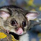 Possum by Murray Wills