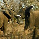 Elephant interaction by jozi1
