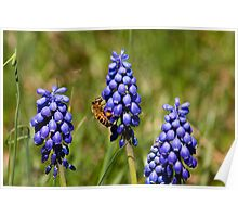 Wild Grape Hyacinths and Bee Poster