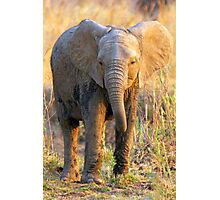 South Luangwa Baby Elephant Photographic Print