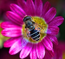 Marguerite Daisy with Hoverfly by T.J. Martin