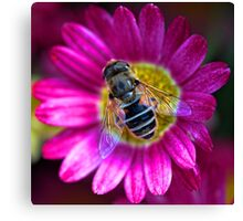 Marguerite Daisy with Hoverfly Canvas Print