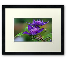 Clematis Blossoms Framed Print