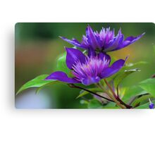 Clematis Blossoms Canvas Print