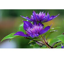 Clematis Blossoms Photographic Print