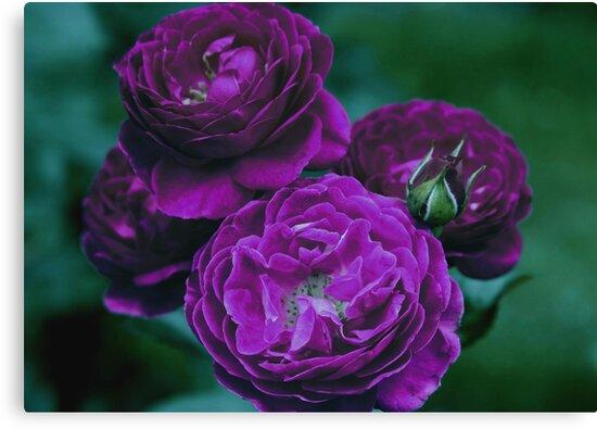 Purple Heart Roses by Robert Armendariz