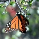 Monarch Butterfly by Terence Russell