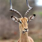 IN PORTRAIT - Aepyceros melampus petersi by Magriet Meintjes