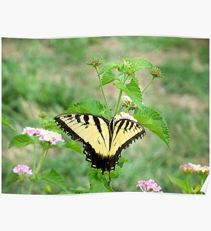 Papilio glaucus Poster