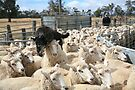Sheep Dog working the Flock, Logan, Australia by Michael Boniwell