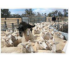 Sheep Dog working the Flock, Logan, Australia Poster