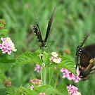 Las Mariposas by Ashley Frechette