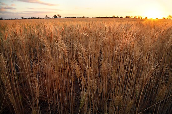 Golden Flakes of Wheat, Victoria, Australia by Michael Boniwell