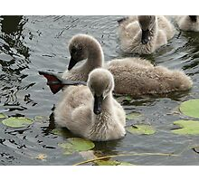 Restful Cygnets Photographic Print