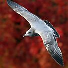 Fall Gull by Randall Ingalls