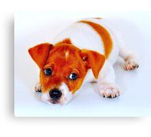 Chi hua hua puppy Canvas Print