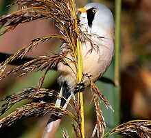 Bearded Tit ( Panurus biarmicus ) by Norfolkimages