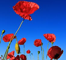Poppies by Norfolkimages