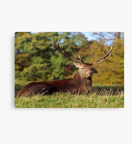 Lop Ears - Red Deer Canvas Print