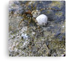 spider with egg sac (Aberdour beach) Canvas Print